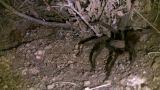 Tarantura HD 02 30sec stock footage