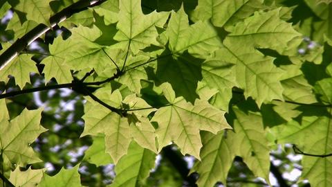 maple leaf tree Stock Video Footage