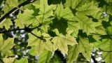 Maple Leaf Tree stock footage