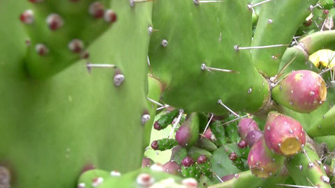 Cactus blossom Stock Video Footage