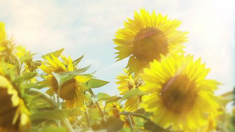 Sunflowers, smoke and sun Stock Video Footage