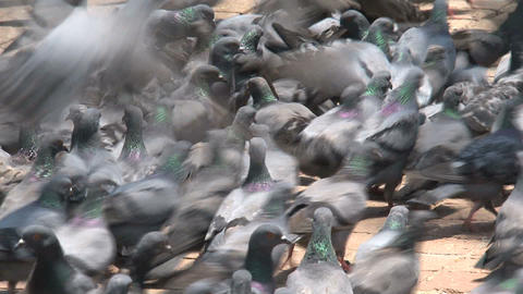 Close up from a big group of pigeons Stock Video Footage