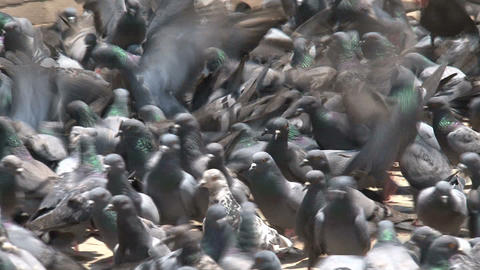 pigeons fighting for food Stock Video Footage