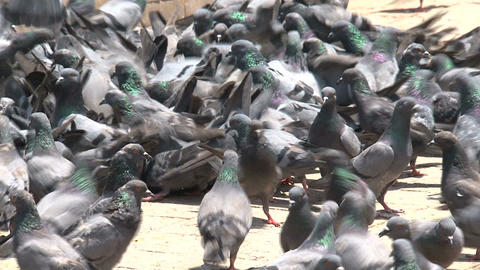 pigeons fighting for food Footage