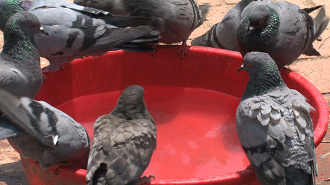 pigeons drinking water Stock Video Footage