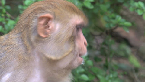 Close up from a Monkey eating Stock Video Footage