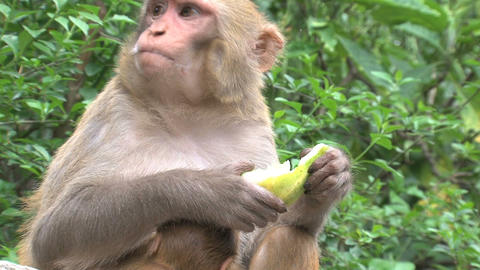 Monkey eating fruit Stock Video Footage