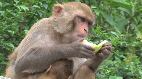 Monkey eating fruit Footage