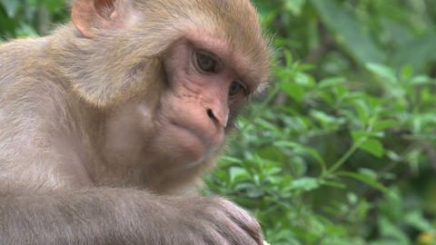 Close up from a Monkey eating fruit Footage