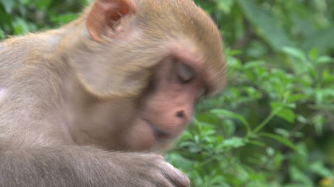 Close up from a Monkey eating fruit Stock Video Footage