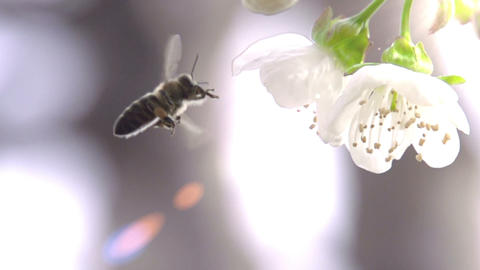 Bee and Flower Footage