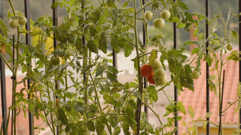 Red Tomato On The Bush Footage