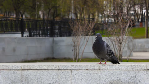 Pigeon fly up in park Footage