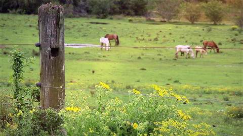 Cattle Grazing in a Meadow Footage