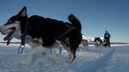 Dog sled racing on background of Kamchatka volcanoes Footage