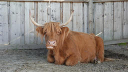 Highland cattle. Scottish cattle breed. Cow Footage