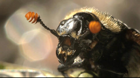 The American Burying Beetle insect Macro Portrait Footage