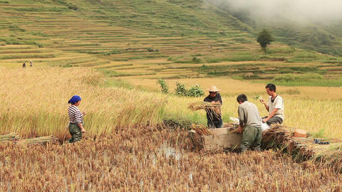 harvesting rice in Yuanyang rice terraces, China Footage