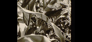 Corn field close up/film footage Footage