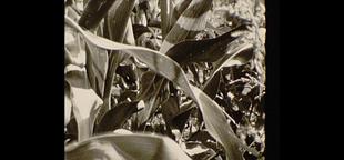 Corn field close up/film footage Archivo