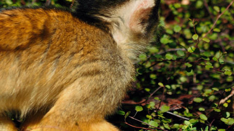 Ultra closeup shot of a black-capped squirrel monkey against green vegetation Footage