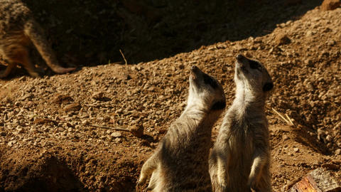 Closeup shot of a pair of meerkats staring at the sky during the golden hour Footage