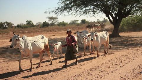 funny shepherd accompanies a herd of cows on pasture in Bagan, Myanmar Footage