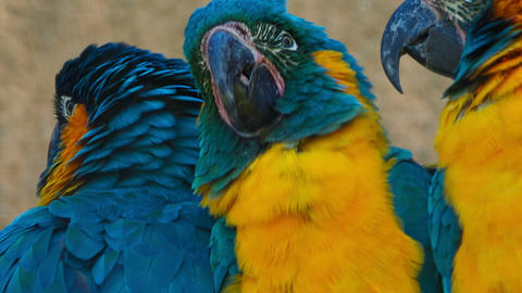 Ultra closeup shot of 3 blue-throated macaws - ara glaucogularis - fighting for  Live Action
