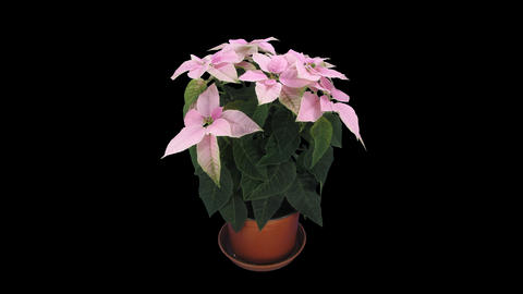 Time-lapse of growing pink poinsettia Christmas flower, 4K with ALPHA channel Footage