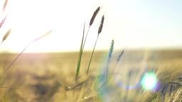 Sunny Rye Field Footage