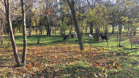 Herd of goats early in the morning in the city park Footage