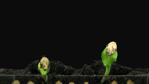 Time-lapse of germinating pumpkin seeds, with ALPHA channel Footage