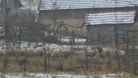Winter Sheep in Yard Footage
