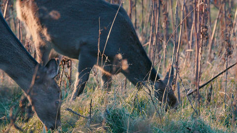 Hokkaido Sika Deer,in Shiretoko National Park,Hokkaido,Japan,Filmed in 4K ビデオ