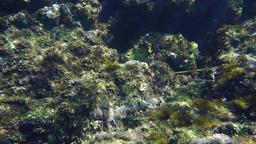 Bluespotted Cornetfish 2