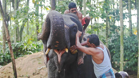 Closeup Indian Men Clean with Brushes Elephant in Park Footage