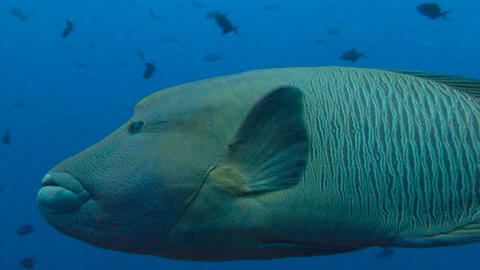 Fascinating underwater dive with sharks and Napoleon fish in the reef to Blue co Footage