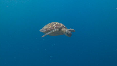 Fascinating underwater diving with sea turtles in the reef to Blue corner of Footage