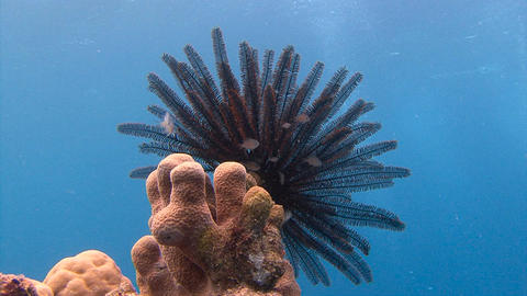 Sea lily. Colorful coral reef. Exciting diving at the archipelago of Palau Live Action