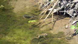 Brown frog floating near a big crab Footage