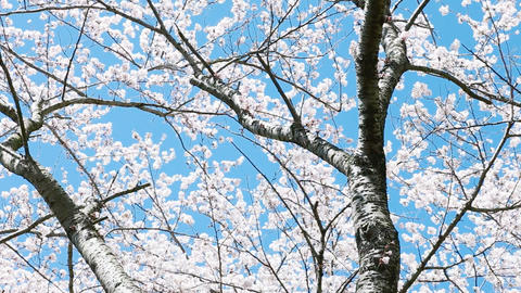 cherry blossom Stock Video Footage