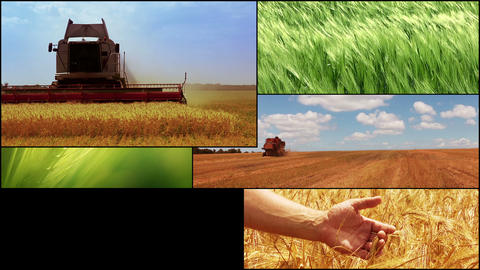 Agriculture. Cereal crops. Harvesting. HD montage Footage