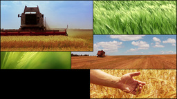 Agriculture. Cereal crops. Harvesting. HD montage Stock Video Footage