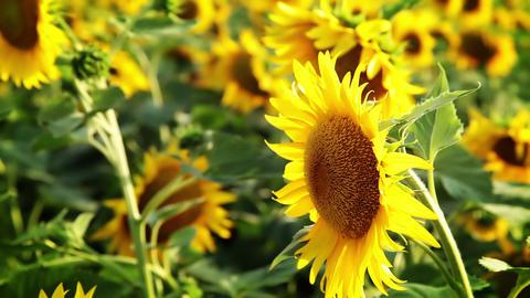 Succulent sunflowers Footage