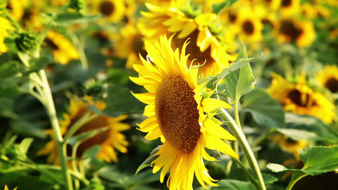 Succulent sunflowers Stock Video Footage