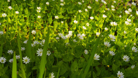 Wild flowers on a background of green grass in the Footage