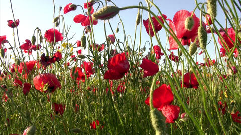 Poppy Field Footage