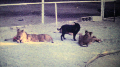 Cute Lion Cubs Chewing On Bone 1979 Vintage 8mm film Stock Video Footage