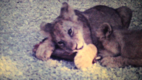 Cute Lion Cubs Chewing On Bone 1979 Vintage 8mm Film stock footage