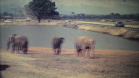 Elephants Roaming Through Game Park 1979 Vintage 8mm film Stock Video Footage